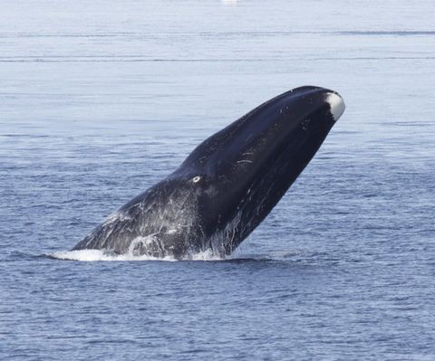 Bowhead Whale in Beaufort Sea